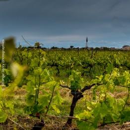 Les vignes Ars en Ré