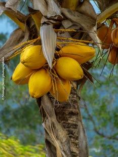 Noix de coco, Cerf Island