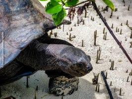 Dans la mangrove, île Curieuse