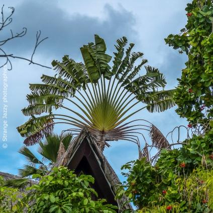 Arbre du voyageur, île de La Digue