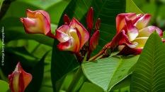 Fleurs de frangipanier , Mahé