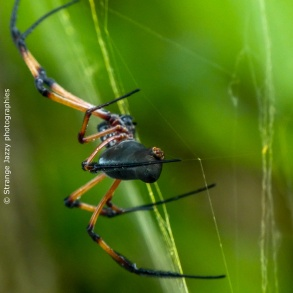 Palm spider (Nephila inaurata)