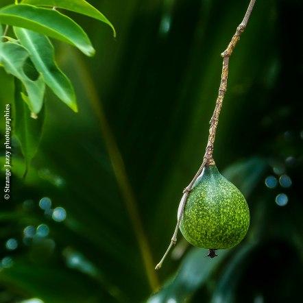 Fruit du bois citron (Rothmania annae)