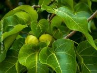 Badames et feuilles de badamier (Calophyllum inophyllum)