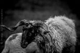 Mouton, Haute Maurienne