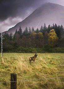 Cerf écossais